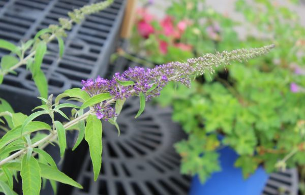 Butterfly Bush, Monarch® 'Blue Knight' – (New For 2021)