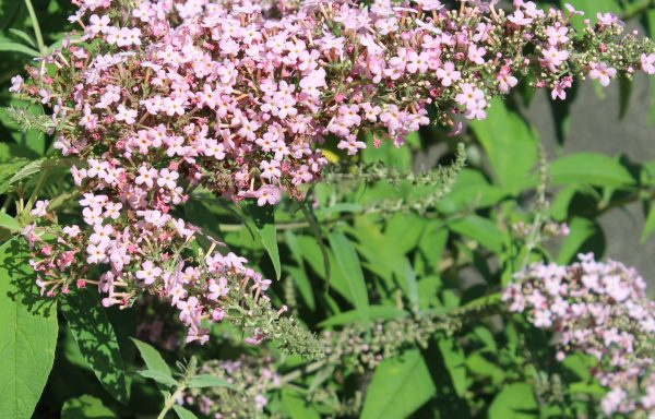 Butterfly Bush 'Pink Cascade'