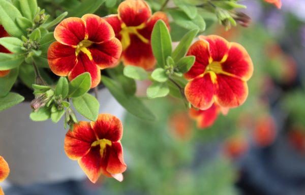 Calibrachoa, Bumble Bee™ 'Orange' – (New For 2021)