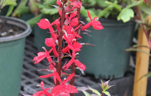 Cardinal Flower, Starship™ 'Scarlet Bronze Leaf' – (New For 2021)