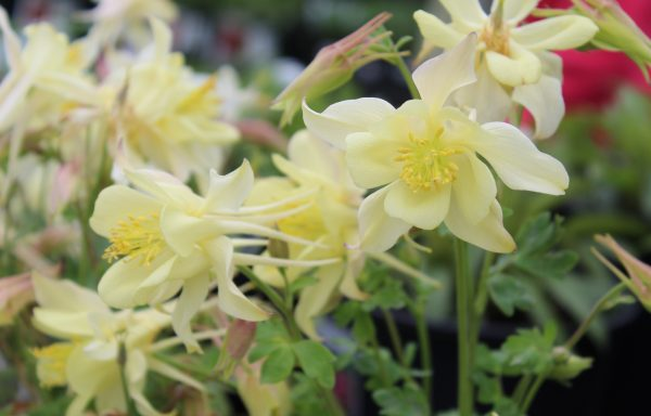 Columbine, Kirigami™ 'Yellow' – (New For 2021)