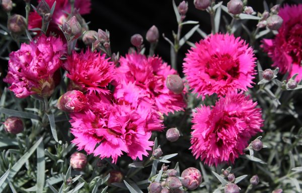 Dianthus, Fruit Punch 'Spiked Punch'