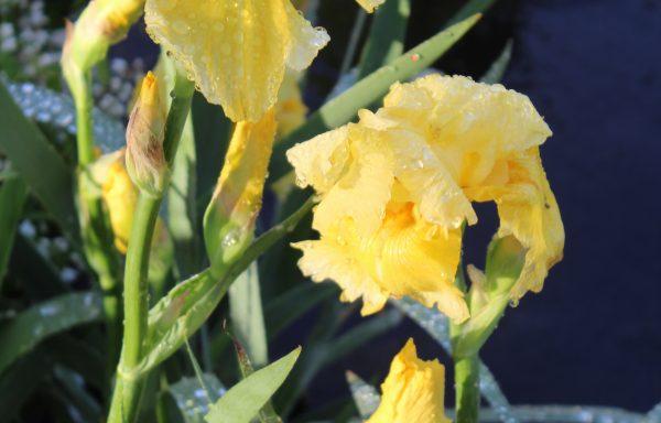 Iris, Bearded 'Pleasant Peasant'