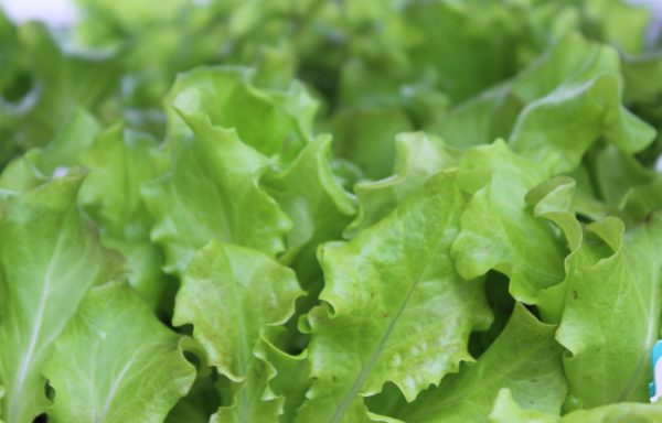 Lettuce 'Vulcan Red' – (New For 2021)