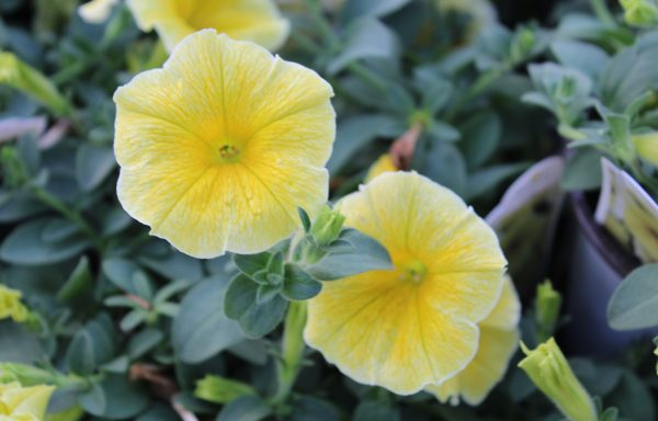 Petunia 'Bee's Knees' – (New For 2021)