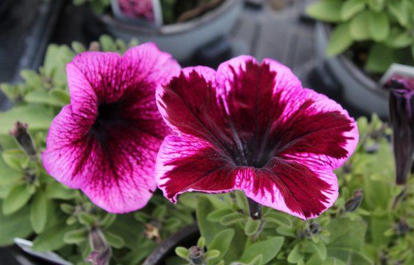 Petunia, Crazytunia® 'Cosmic Pink' – (New For 2021)