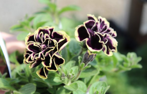 Petunia, Double 'Midnight Gold' – (New For 2021)