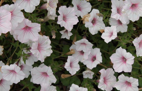 Petunia, Supertunia 'Vista® Silverberry'
