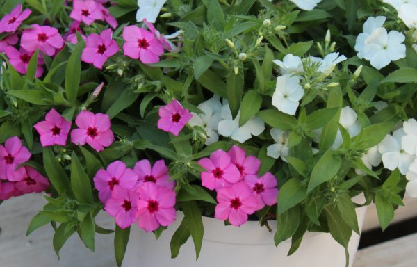 Phlox, Trixi® 'You Pinked My Interest' – (New For 2021)
