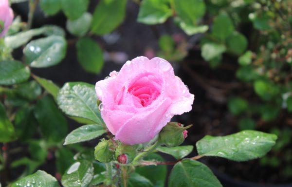 Rose 'Gertrude Jekyll'®
