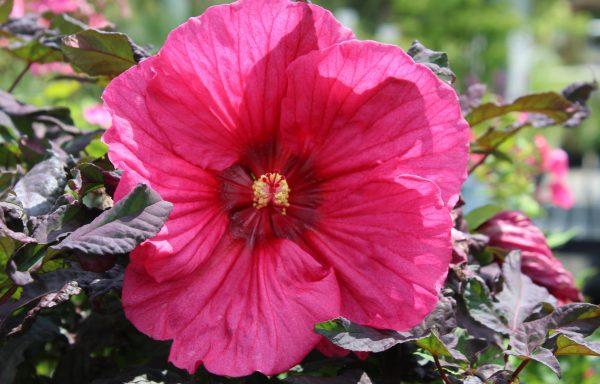 Rose Mallow, Summerific 'Evening Rose'