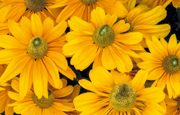 Black Eyed Susan 'Amarillo Gold' (AAS Winner) – (New For 2021)