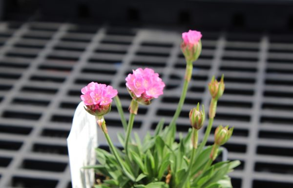 Sea Thrift, Dreameria® 'Daydream' – (New For 2021)