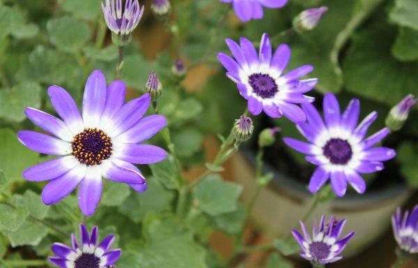 Senetti®'Blue Bicolor'