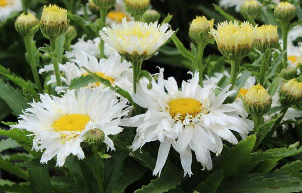 Shasta Daisy 'Belgian Lace'