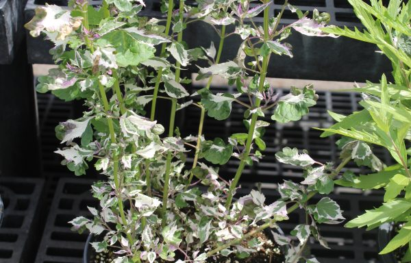 Hyssop 'Crazy Fortune' – (New For 2021)