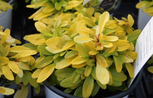 Bugleweed, Feathered Friends™ 'Cordial Canary' – (New For 2021)