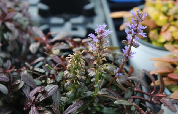 Bugleweed, Feathered Friends™ 'Noble Nightingale' – (New For 2021)