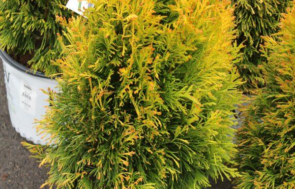 Arborvitae, Western 'Fluffy®' – (New For 2021)