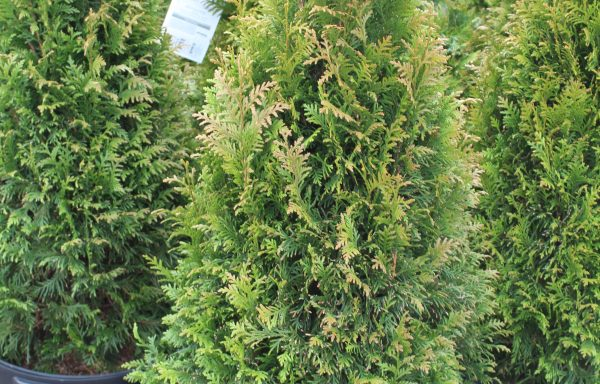 Arborvitae, Western 'Worryfree® Junior Giant' – (New For 2021)