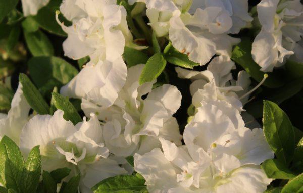 Azalea, Evergreen 'Helen Curtis' – (New For 2021)