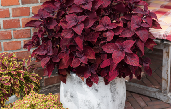 Coleus, Main Street 'Beale Street' (AAS Winner) – (New For 2021)