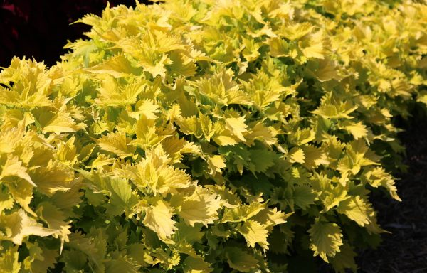 Coleus 'Wasabi' – (New For 2021)