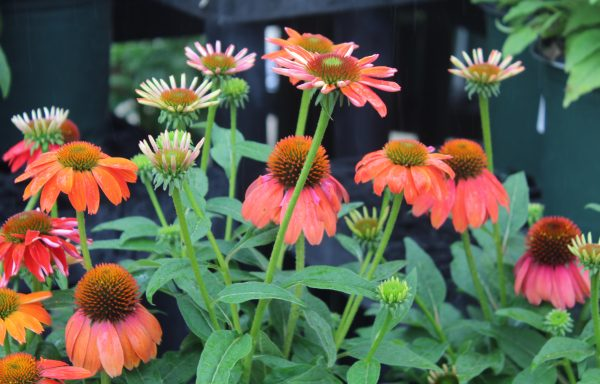 Coneflower, Artisan™ Collection 'Red Ombre' – (New For 2021)