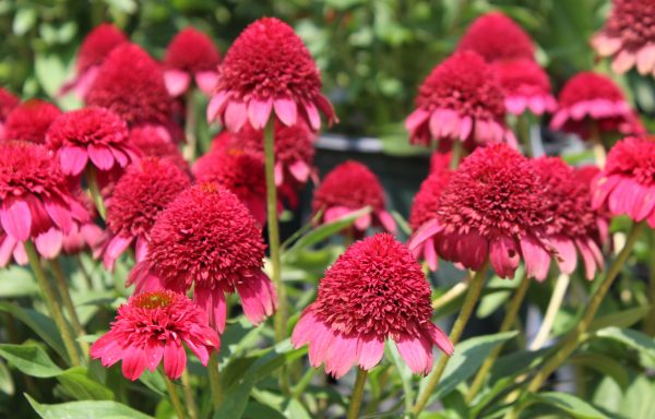 Coneflower, Sunny Days™ 'Ruby' – (New For 2021)