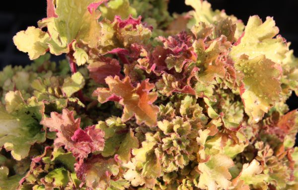 Coral Bells 'Frilly' – (New For 2021)