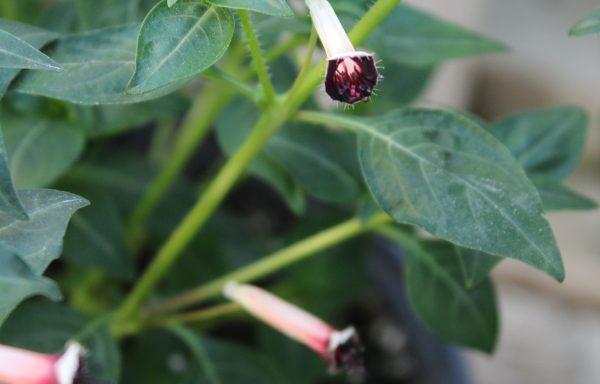 Cuphea 'Blackberry Sparkler' – (New For 2021)