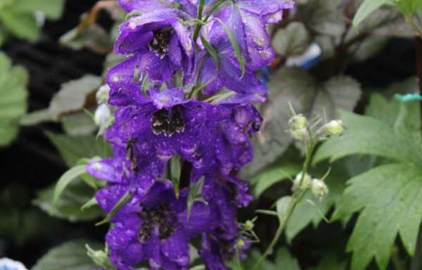 Delphinium, Delphina 'Dark Blue Black Bee' – (New For 2021)