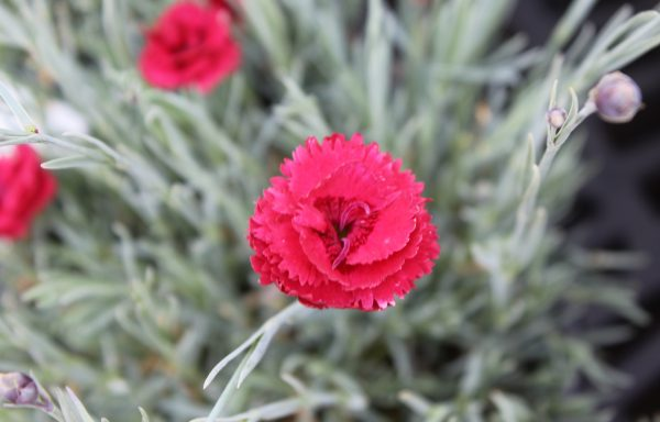 Dianthus, Fruit Punch® 'Maraschino' – (New For 2021)
