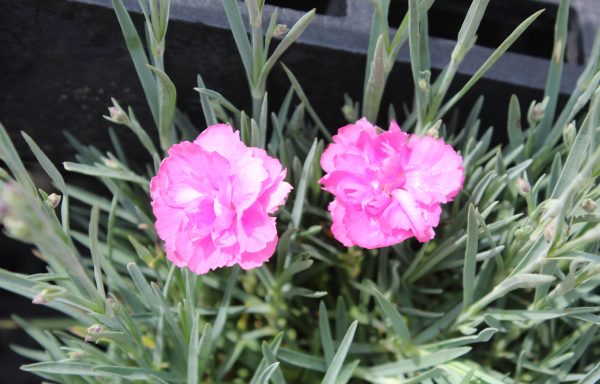 Dianthus, Fruit Punch® 'Sweetie Pie' – (New For 2021)