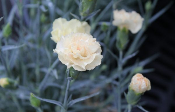 Dianthus, Promotional™ 'Hello Yellow' – (New For 2021)