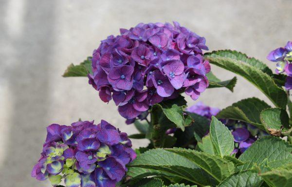 Hydrangea, Seaside Serenade® 'Newport'