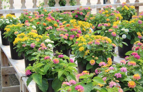 Lantana, Confetti Garden® 'Havana Lights' – (New For 2021)