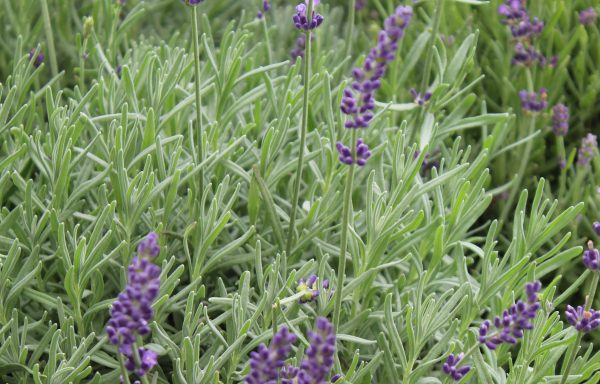 Lavender, English 'Imperial Gem' – (New For 2021)