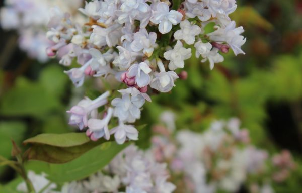 Lilac, Scentara® 'Double Blue' – (New For 2021)