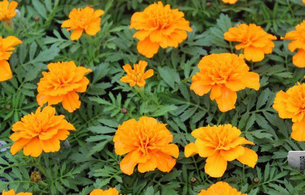 Marigold, French 'Bonanza™ Deep Orange' – (New For 2021)