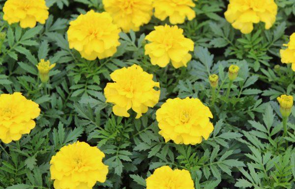 Marigold, French 'Bonanza™ Yellow' – (New For 2021)