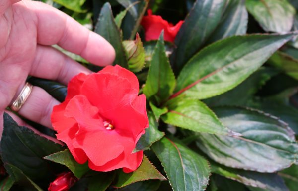 Impatiens, New Guinea 'Roller Coaster Red Racer' – (New For 2021)
