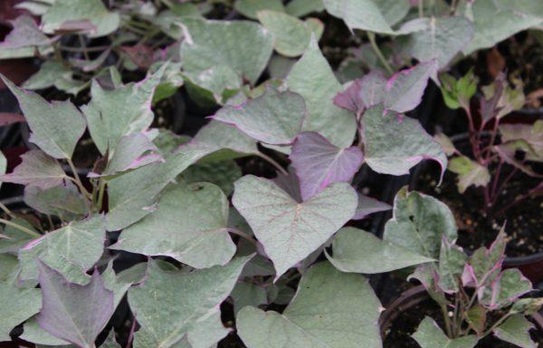 Ornamental Sweet Potato 'Tricolor'