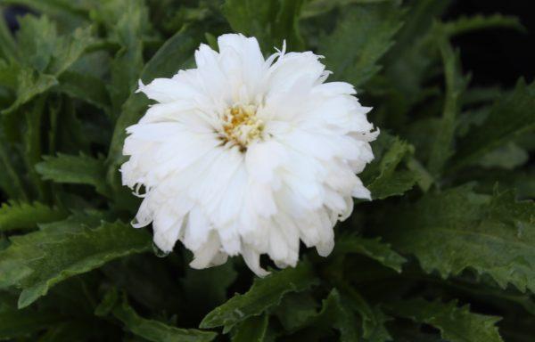 Shasta Daisy, Amazing Daisies™ 'Marshmallow' – (New For 2021)