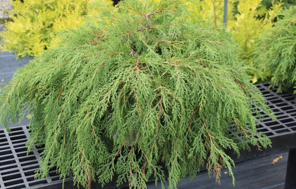Siberian Cypress 'Celtic Pride®' – (New For 2021)