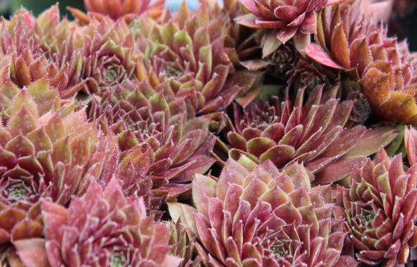 Hens And Chicks 'Red Rubin'