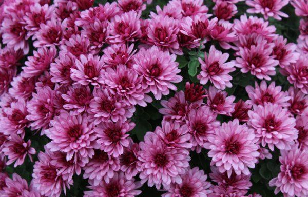 Garden Mum 'Aduro Pink'