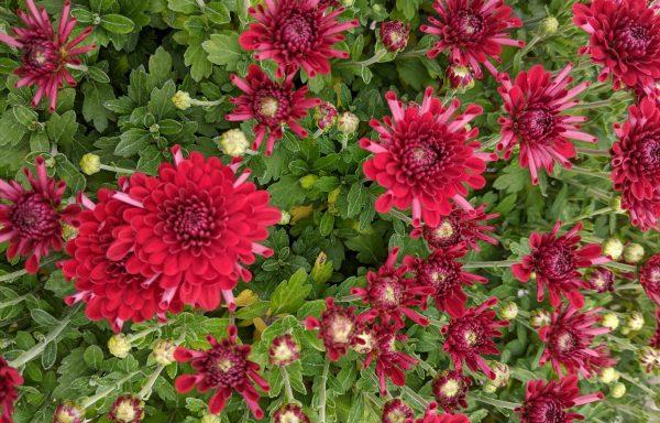 Garden Mum 'Majesty Red'