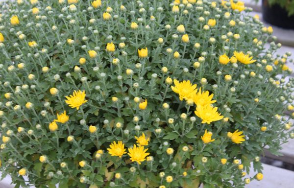 Garden Mum 'Makayla Yellow'