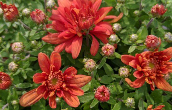 Garden Mum 'Arluno Orange'